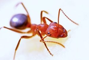 image of red ant