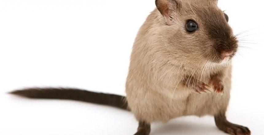 Image of a rat