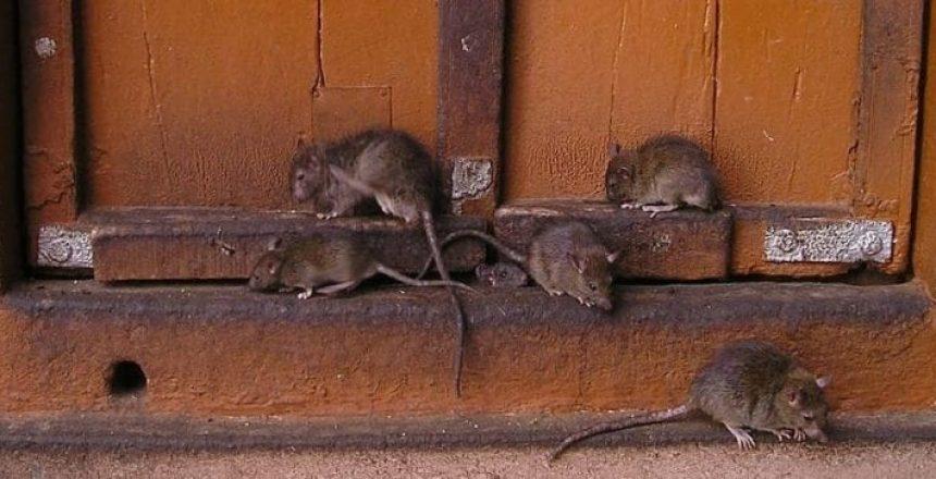 image of rats at a door, Prevent Pests