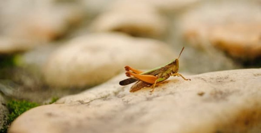 picture of a grasshopper, Pest Infestation